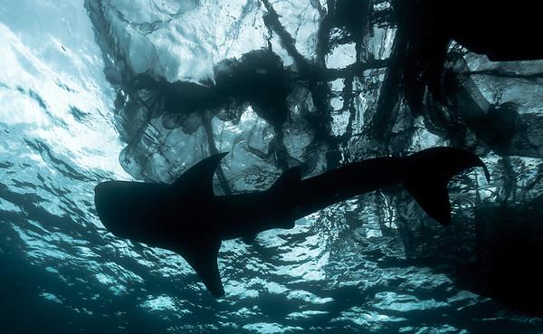 Cenderawasih 2012 whale sharks